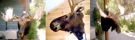 Adirondack Reflections Taxidermy