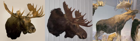 Arden Creek Designs Taxidermy
